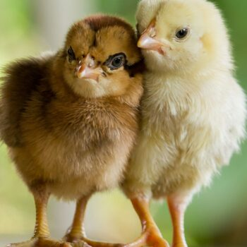 two small chickens yellow brown