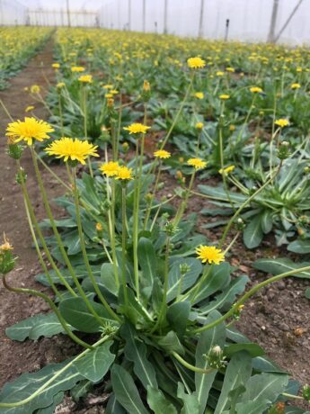 dandelions in greenhouse